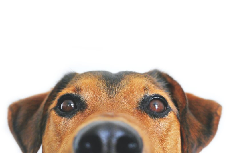 Dog looking directly into the camera